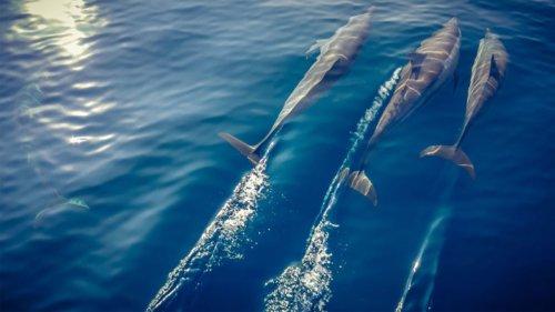 Dolphins at Kudadoo